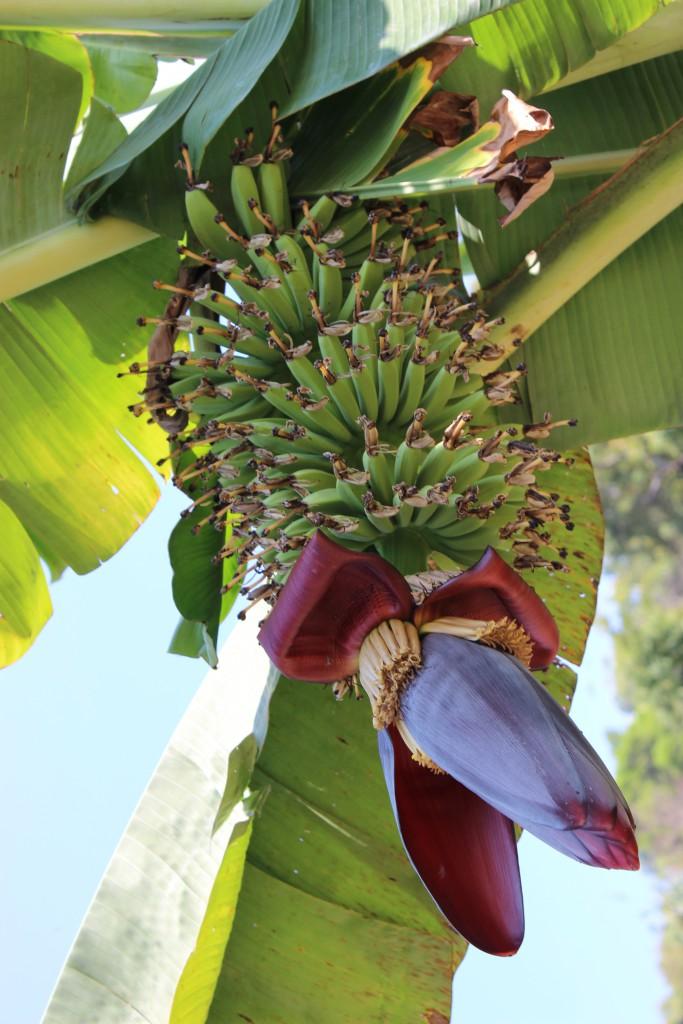 Bananenblüte