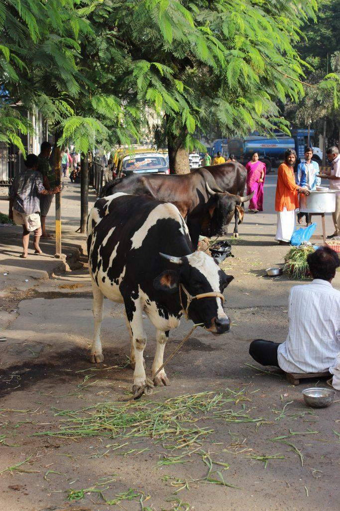 Mumbai - Kuh