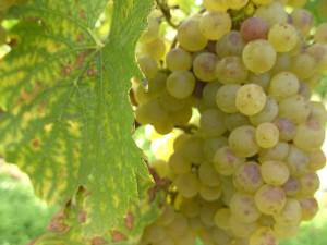 Kirrweiler Weinwanderung