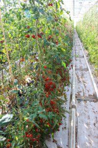 HofladenKlug_Tomaten